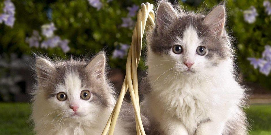 احذر خربشة القطط.. قد تتسبب في نقل الأمراض لك