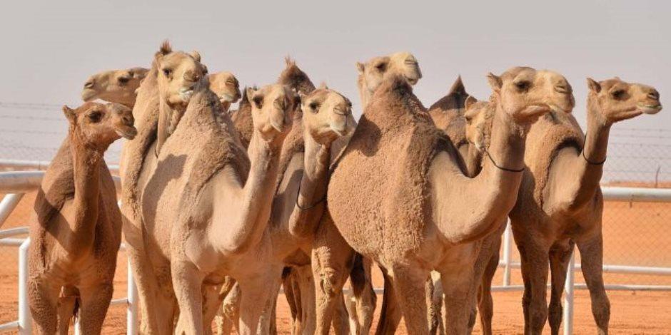 سفينة الصحراء تتحدى التغيرات المناخية.. خطة لتنمية الإبل فى الصحارى المصرية لتوفير اللحوم والألبان