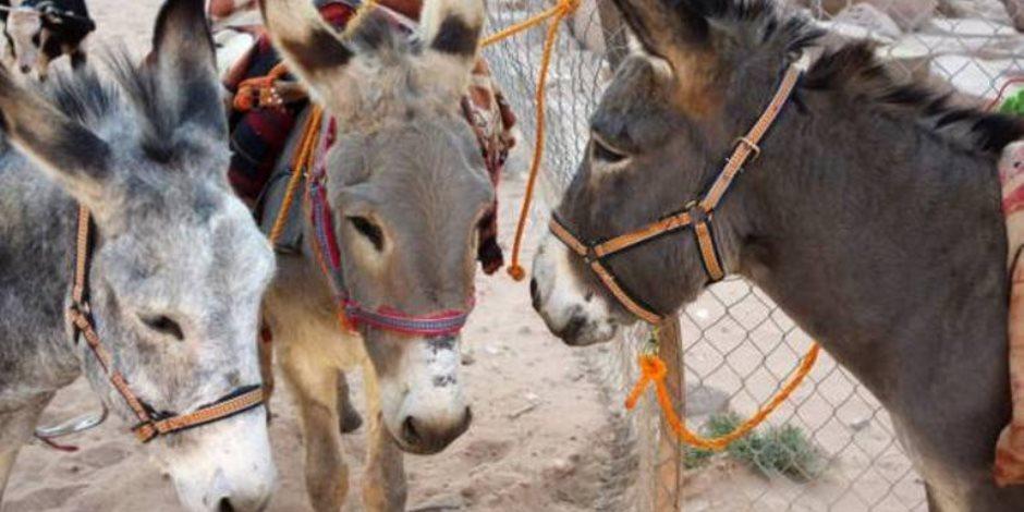 عضو «البيطريين»: تصدير الحمير للخارج يعرض السلالة المصرية للانقراض