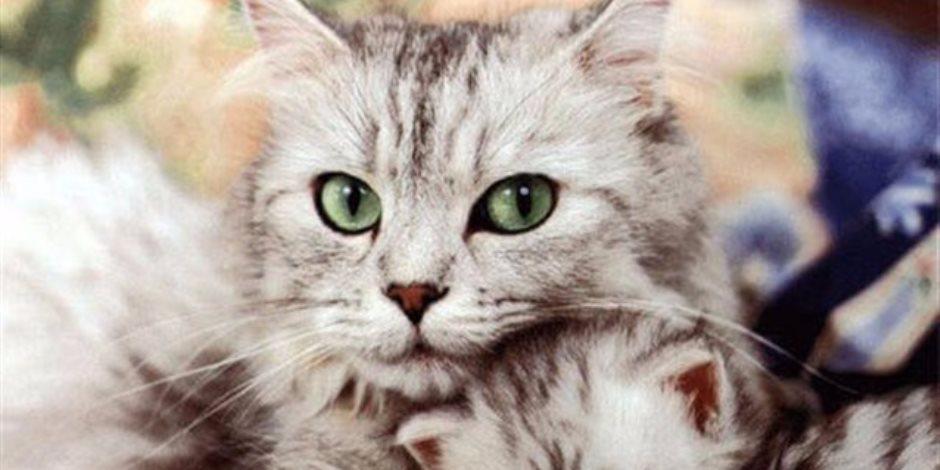 اعرف أغرب الحقائق عنها.. لو بتحب القطط إليك هذا الموضوع