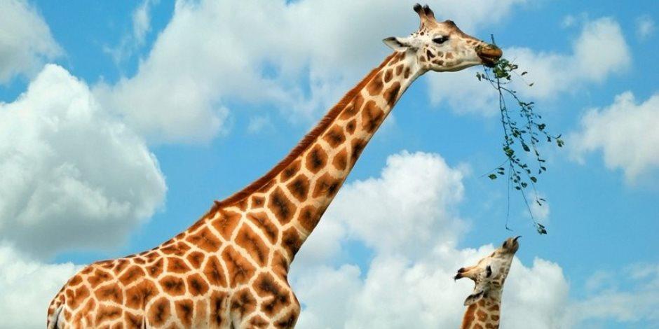 """المحكمة التأديبية تبرئ مسئول بحديقة الحيوان من قتل الزرافة """"دوجو"""""""