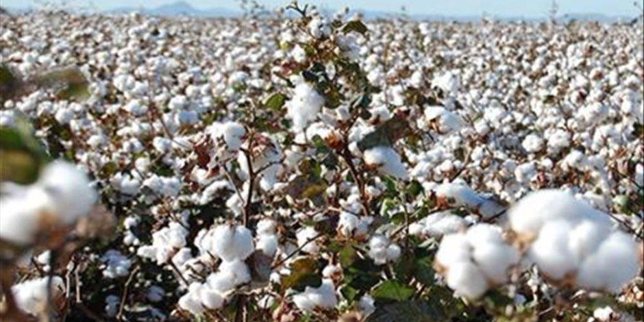 هيئة اختبارات القطن تتوقع زراعة 350 ألف فدان بنهاية العام