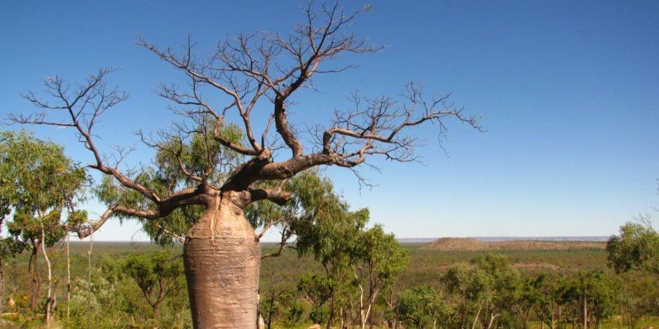 19 معلومة عن شجرة الحياة الأقدم على سطح الأرض صوت الأمة