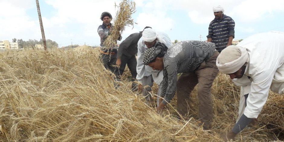 «الذهب الأصفر».. انطلاق مهرجان حصاد القمح غرب الإسكندرية (صور)