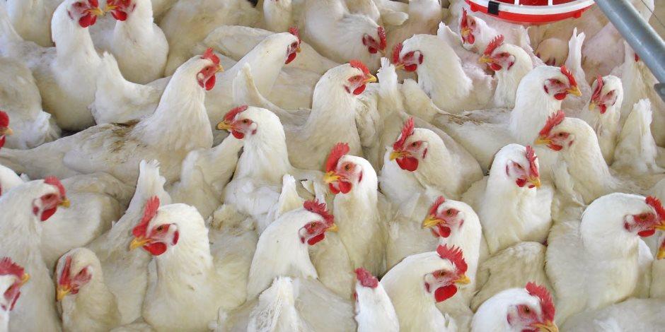 ننشر أسعار الدواجن والبيض واللحوم اليوم السبت 9-11-2019