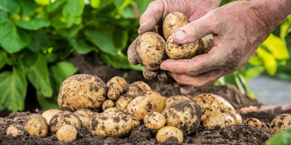لـ 589 ألف طن.. الزراعة تعلن ارتفاع صادرات بطاطس المائدة