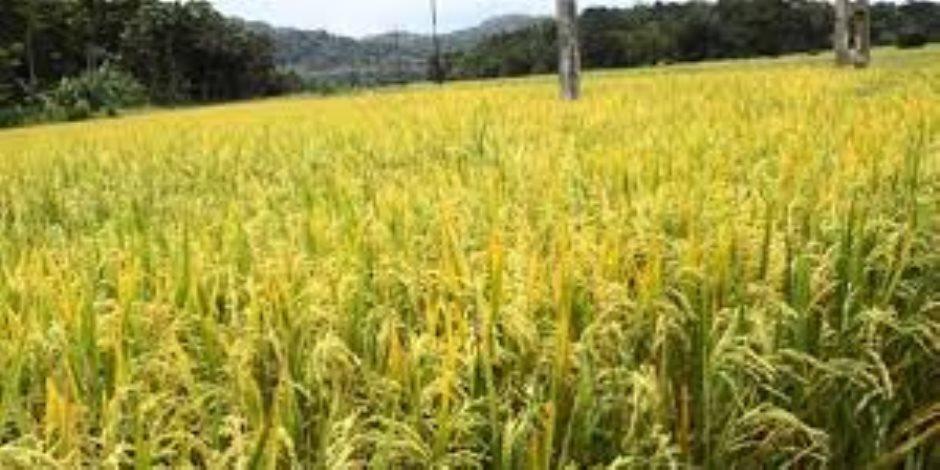 """التركيز على السعودية وليبيا لصادرات الأرز.. توصيات """"اتخاذ القرار"""" نحو أزمات الحبوب بالدول العربية"""