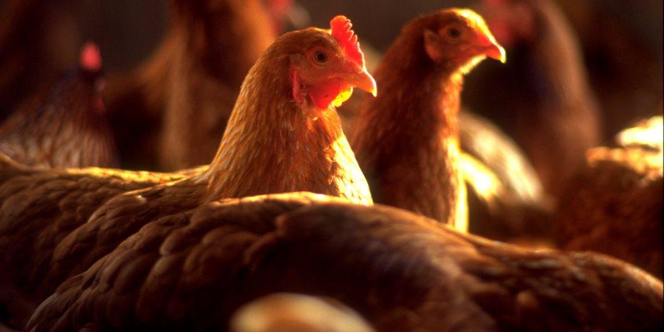 ننشر أسعار الدواجن والبيض واللحوم اليوم السبت 5-10-2019