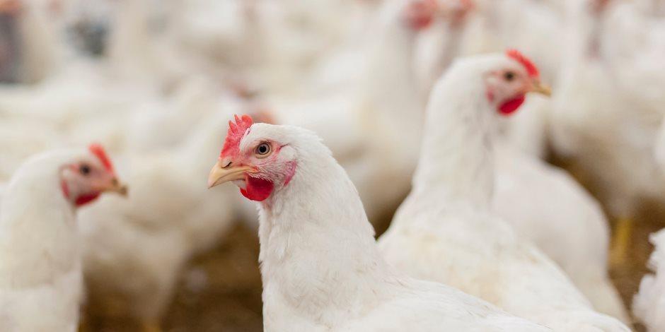 تعرف على أسعار الدواجن والبيض واللحوم اليوم السبت 28-9-2019 بسعر الجملة
