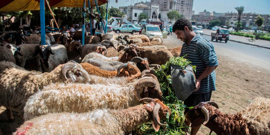 لو هتشتري خروف العيد.. اتبع نصائح الزراعة للتأكد من سلامة أضحيتك