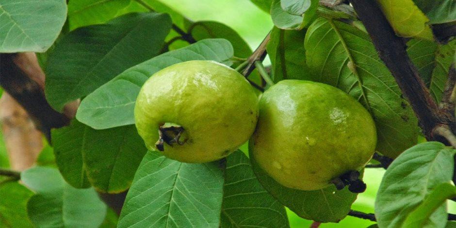 حزمة إجراءات لزيادة إنتاج محصول الجوافة.. «الزراعة» تكشف التفاصيل