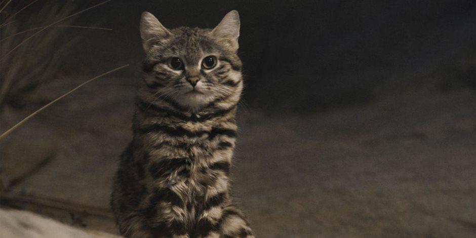 إصابة قطة ثانية فى فرنسا بفيروس كورونا