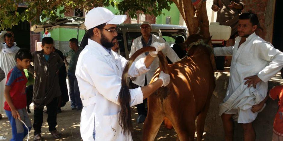 تحصين الماشية.. من دوّار العُمدة إلى الحملات القومية والقوافل البيطرية (صور)