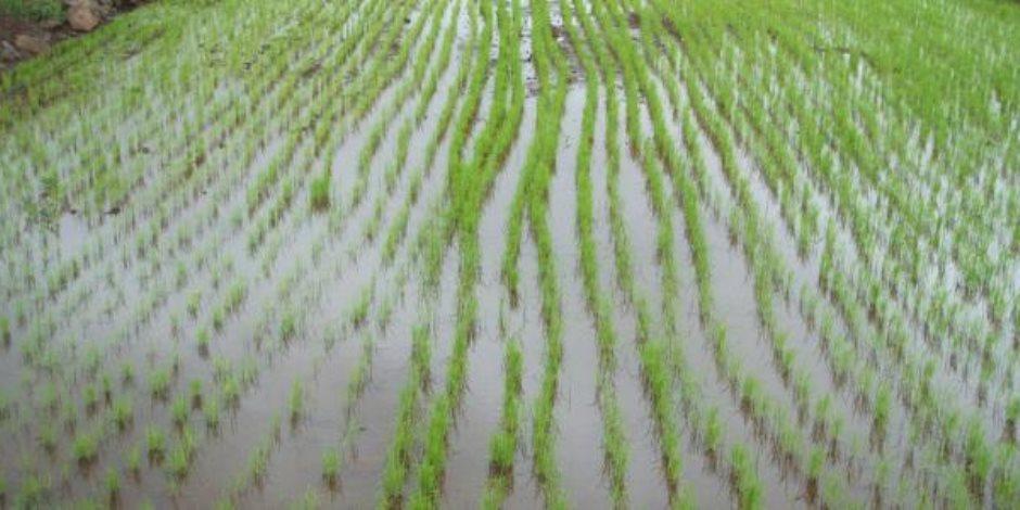 الأقمار الصناعية تراقب زراعة الأرز ونقيب الفلاحين يحذر المزارعين من المخالفة