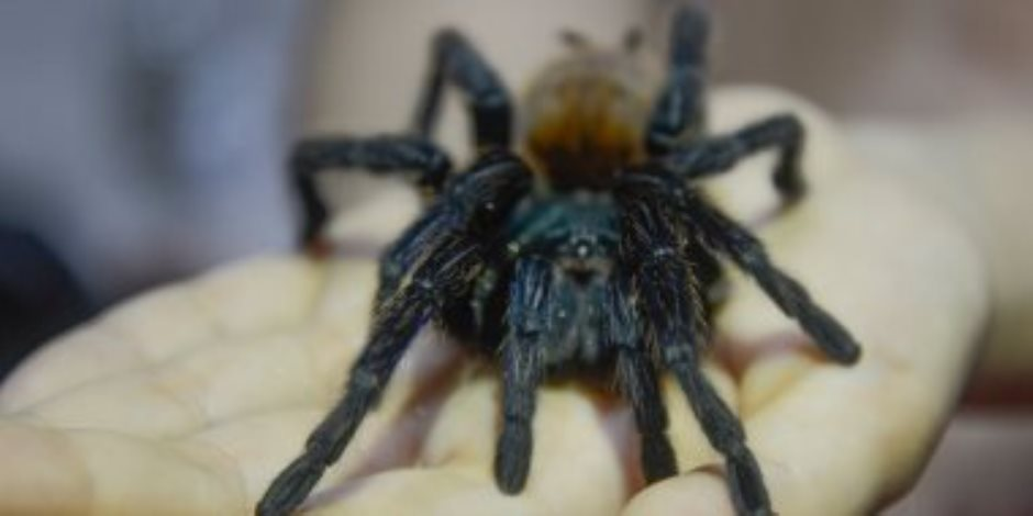 أثار جنون حماته بـ«عنكبوت» للتخلص منها