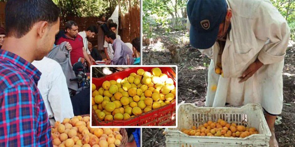 حكاية العمار الكبرى مع «المشمش».. القرية الأكبر في إنتاج المحصول بـ400 فدان (صور)