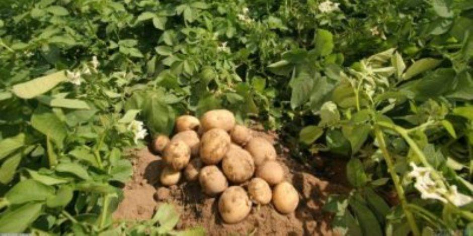 الخطة تستهدف 6 ملايين طن سنويا.. حزمة إجراءات لزيادة البطاطس الصيفية