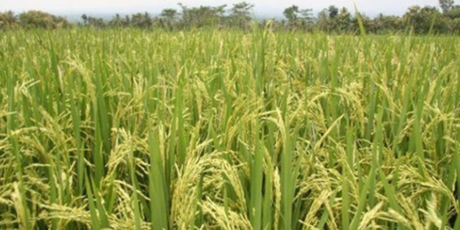 بعد قرار حظر استيراده..أزمات الأرز تسيطر على اجتماعات خبراء الزراعة المصريين والأفارقة
