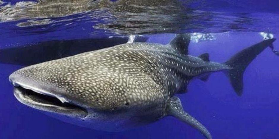س & ج أسباب ظهور القرش الحوتي في شواطئ الغردقة وحقيقة خطورته على البشر
