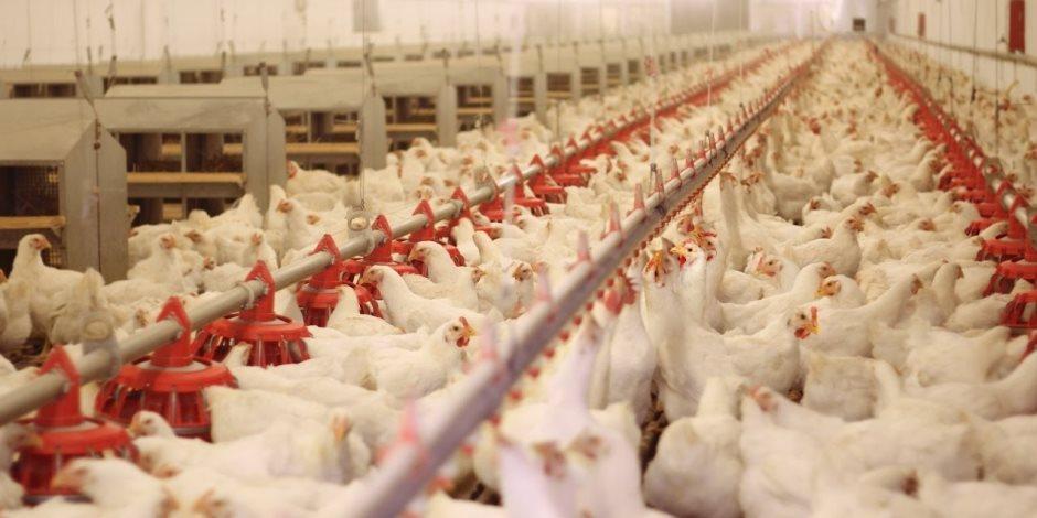 بـ 13 مليار بيضة ومليون طن لحوم.. «صناعة الدواجن» تستعد لموسم الشتاء