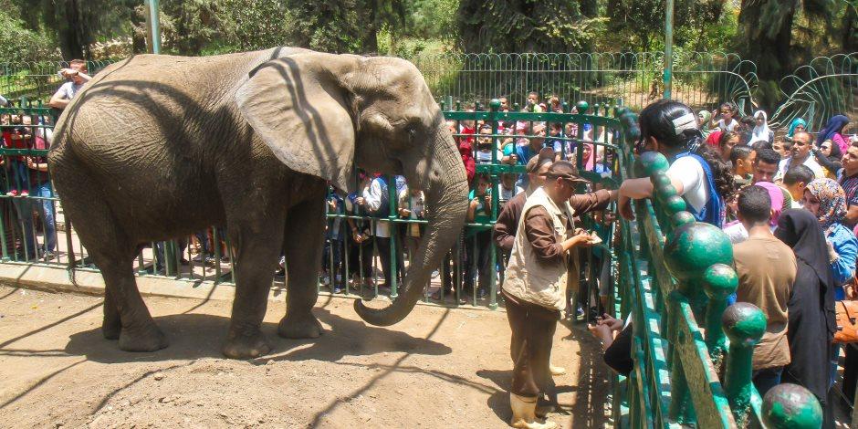 من سلخ الجلد إلى تقطيع الأطراف.. هكذا يتم تحنيط الفيلة نعيمة (صور)