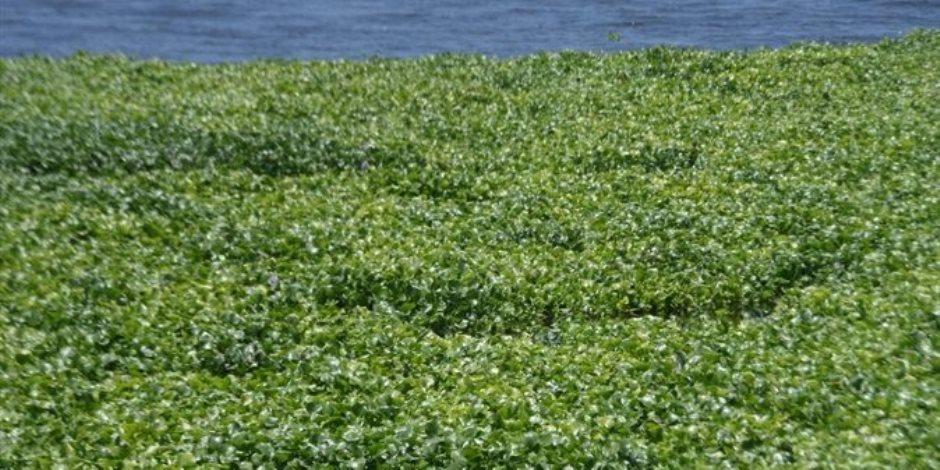اعرف أضرار ورد النيل.. يمتص 3 مليارات متر مكعب من النهر أبرزها