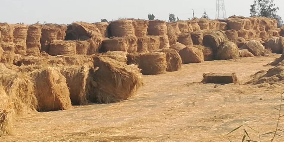 في موسم حصاد الأرز.. كيف قضت الدولة علي السحابة السوداء؟