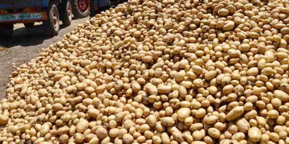 في أزمة تقاوى البطاطس.. ابحث عن جشع الكِبار والصِغار