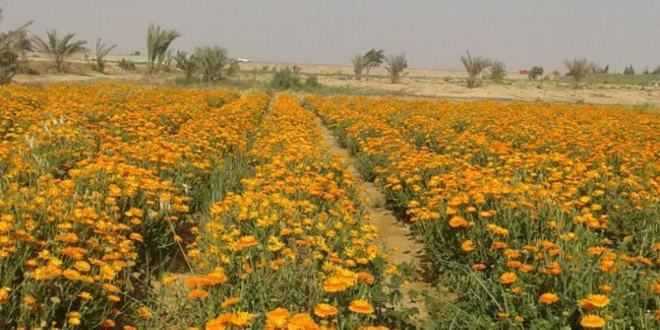 حِلم ولا عِلم.. زيادة مساحة زراعة النباتات الطبية والعطرية لـ 250 ألف فدان