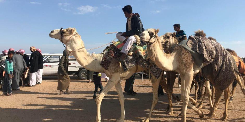 غدا.. إنطلاق سباقات مهرجان شرم الشيخ الدولي للهجن بمشاركة 1030هجين (صور)
