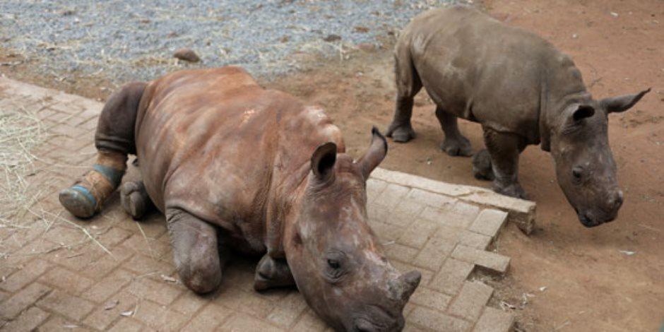 كورنا يهدد حيوانات جنوب إفريقيا بالانقراض.. وحيد القرن أبرز الضحايا