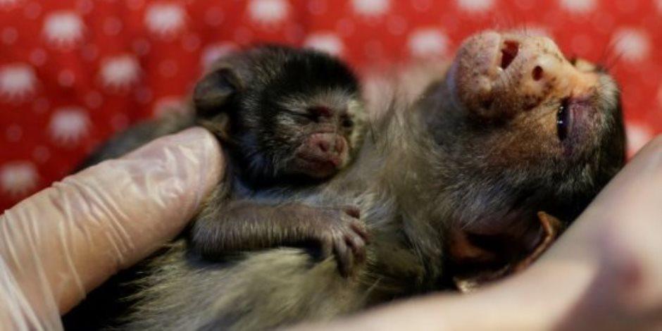 رحلة الوصول للقاحات.. هكذا أنقذت أنسجة وخلايا الحيوانات العالم