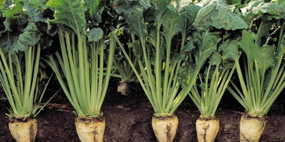 بسبب كورونا وتفشي الآفات الزراعية.. أوروبا تواجه اختفاء «السكر»