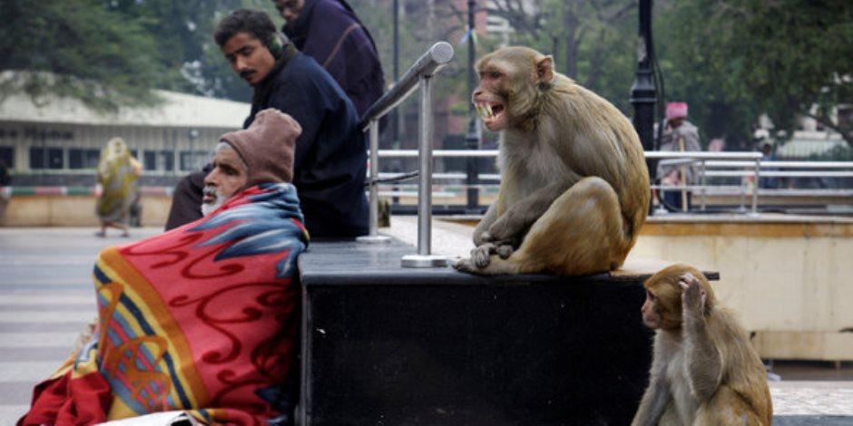 سرقوا السكان.. حكاية غزو آلاف القردة لمدينة هندية (صور)