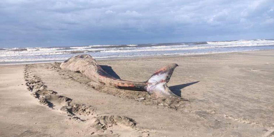 العثور على أنثى «حوت أحدب» نافقة على شواطئ البرلس بكفر الشيخ (صور)