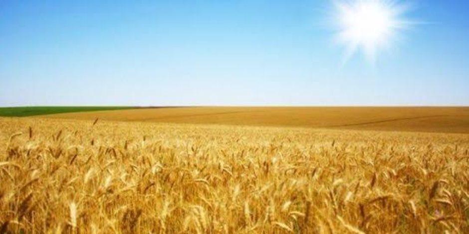 """حقول القمح تزين ربوع المحروسة.. مساحات زراعة """"الذهب الأصفر"""" تتخطى 3 ملايين فدان"""