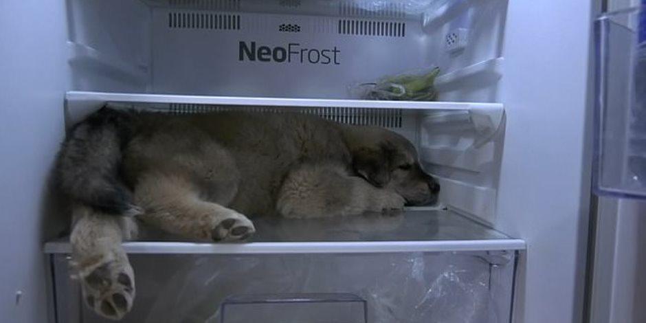 فيديو طريف .. كلب صغير يجلس داخل ثلاجة الطعام في تايلاند هربا من ارتفاع درجة الحرارة