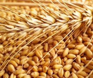 أزمات القمح المستورد لمصر.. من فطر الأرجوت المتسبب في إجهاض النساء إلى الخشخاش المسؤول عن «الكيف»