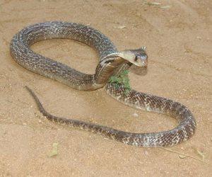 مركز تغير المناخ يحذر عاملي المناطق الصحراوية من الثعابين لخروجها بسبب الحر