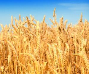الحكومة تواصل استلام القمح من الفلاحين.. جمعت مليوني طن منذ منتصف أبريل الماضي