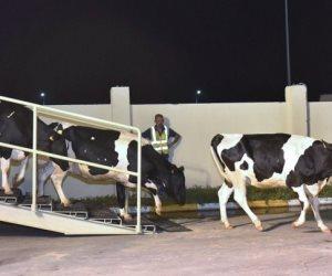 سياسات النظام التركي تقضي على إنتاج الألبان.. غلاء أسعار العلف وذبح الأبقار السبب
