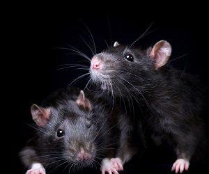 """رعب فى بريطانيا بسبب انتشار """"فئران الزومبى"""" ومخاوف من مهاجمة البشر"""