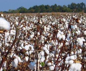 رئيس جمعية القطن: المحصول يعاني أزمة تنظيم زراعة الأصناف بالمحافظات