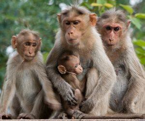 """""""بالشوارع وفوق البيوت"""".. تفاصيل الهروب الجماعي لـ""""القرود"""" في أبو تشت بقنا (صور)"""