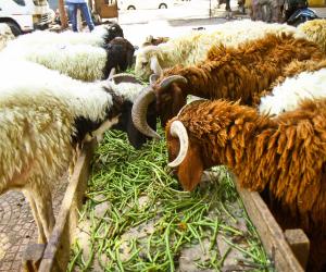 مفيش جزء بيترمى.. تعرف على طقوس المصريين فى التعامل مع خروف العيد