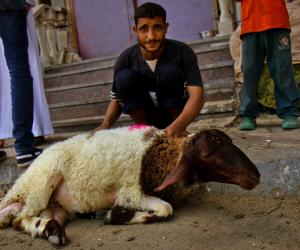 بالأسماء.. 12 شادرا لشراء خروف العيد بسعر 60 جنيها للكيلو في الإسكندرية