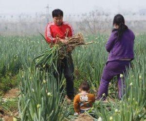 الزراعة الصينية: رصد تفشيا لإنفلونزا الطيور بمزارع للسمان