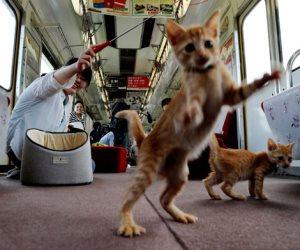 في كوكب اليابان.. قطط تستقل قطار لزيادة الوعي بمشكلة إعدام القطط الضالة (صور)