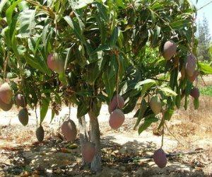 هل أنت من مزارعي المانجو؟.. تعرف على 7 توصيات للقضاء على العفن الهبابي
