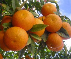 أسعار الخضروات والفاكهة اليوم الأربعاء 18-3-2020.. البرتقال بـ 2.5 جنيها للكيلو